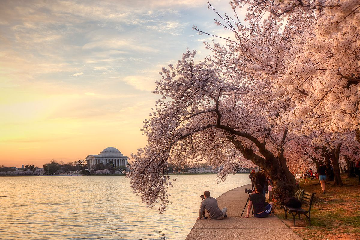 Facts About Washington Dc S Cherry Blossom Festival